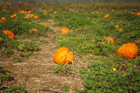 Pumpkin field, harvest season. Sunny autumn day in California