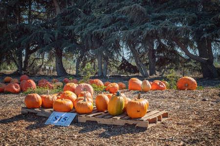 Orange pumpkins, outdoor farmer market in California
