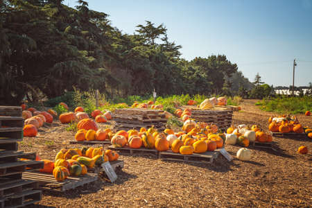 Pumpkin patch and pumpkin market, rural scene, sunny October day, California