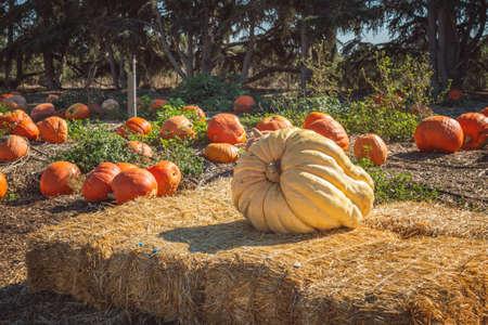 Giant organic pumpkins at outdoor farmer market Stock Photo