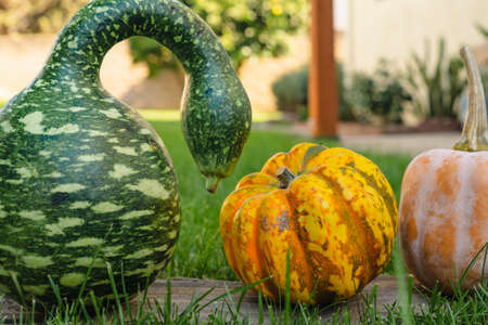Speckled Swan pumpkin and yellow pumpkins close up in the garden Stock Photo