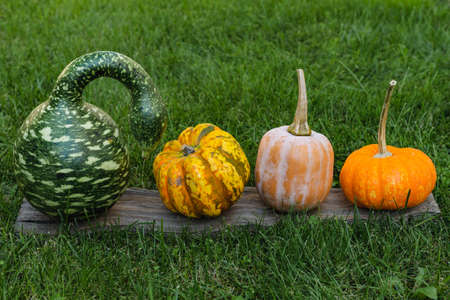 Pumpkins in assortment, Speckled Swan or Korda Gourd and sweet organic yellow pumpkins close up on the grass in the garden