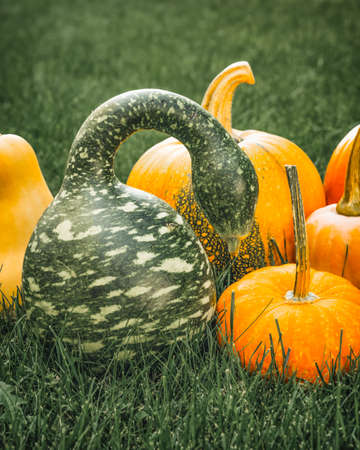 Speckled Swan pumpkin or Korba Gourd and yellow pumpkins close up in the garden, vertical banner Stock Photo