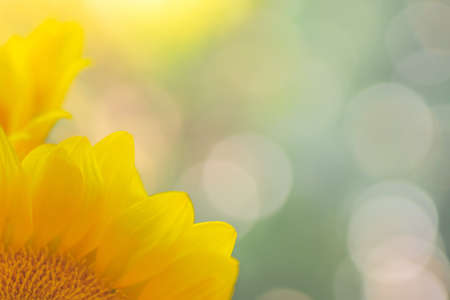 Soft  blurry abstract of sunflower petals and de-focused light background, copy space for text, greeting card