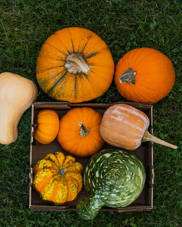 Pumpkins and squash close up in container on the grass in the garden, harvest season Stock Photo