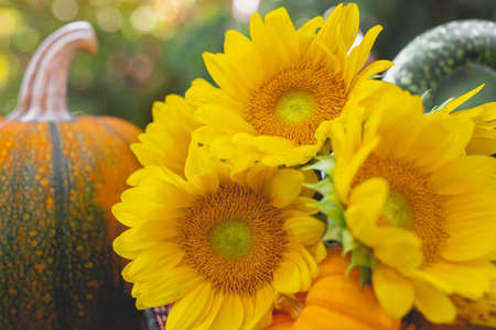 Autumn decoration, sunflowers and pumpkins close up in natural background in the garden