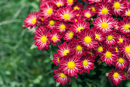 Magenta red Chrysanthemum in fall garden close up, view from above, copy space Stock Photo
