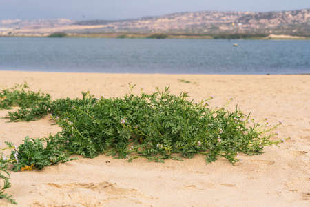 Sand dunes on the beach and Sea Rocket flowers in bloom, beautiful pink wildflowers growing on the sandy beach.