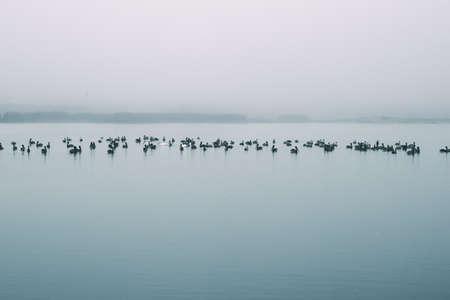 Tranqul scene, pelicans float on river. Soft blue color, monochrome