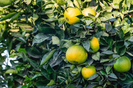 Unripe organic oranges on orange tree in the garden. Orange tree bearing full grown fruits.