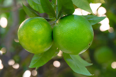Oranges on a tree. Unripe fruits close up  with beautiful soft blur background