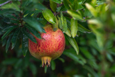 Branch of pomegranate tree with ripe fruit close up in the garden