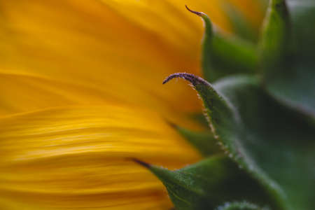 Abstract floral background of sunflower petals extremely close up