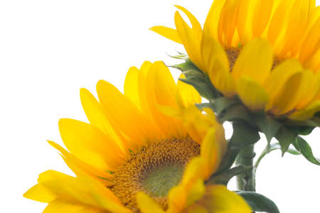 Soft light floral background of sunflowers on white background with copy space for text, greeting card Stock Photo