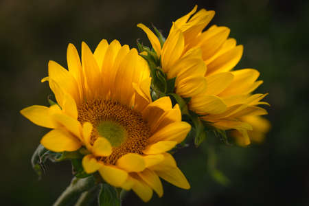 Sunflowers in the garden close up on dark green background