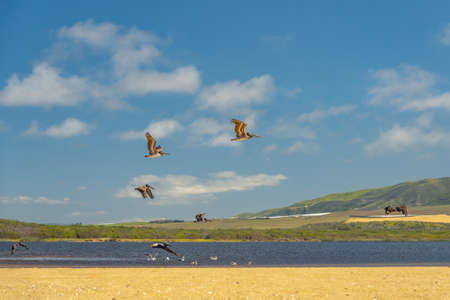 Flock of seagulls and pelicans on the beach. Guadalupe-Nipomo Dunes National Wildlife Reserve, California Stock Photo