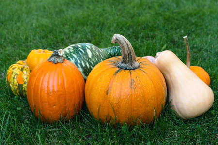 Pumpkins and squash close up on the grass in the garden