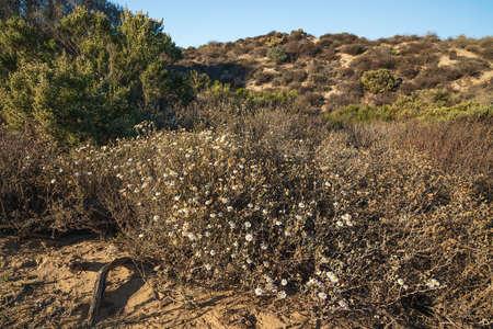 Wild daisy flowers in deser, autumn blossom, Oso Flaco Lake Natural Area, California