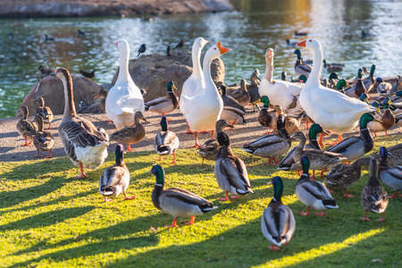 Flock of ducks and geese on the grass close to the pond in public city park in sunny sunlight