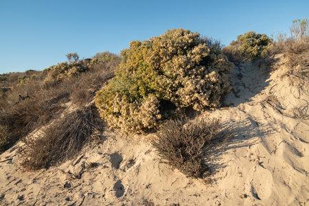 Sand dunes and desert plants. California Golden Bush, beautiful fall season