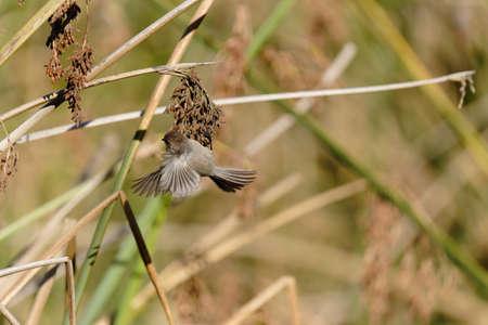 A tiny bird flying between a marsh grass. Bushtit at Oso Flaco Lake in Oceano, California Zdjęcie Seryjne