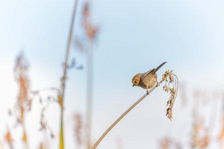 A tiny bird hanging on marsh grass. Bushtit at Oso Flaco Lake in Oceano, California Zdjęcie Seryjne