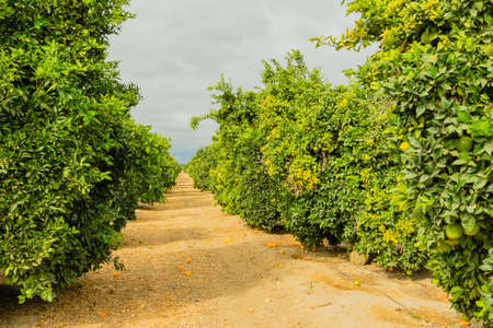 Orange trees in an orchard in California