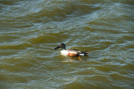 Northern shoveler duck floating on water. Beautiful sunny windy day on the lake.