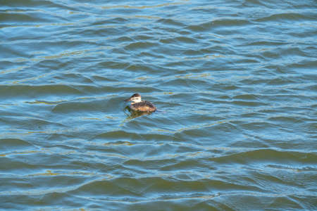 Beautiful water of the lake in windy day with sun reflections, and duck chick floating on water