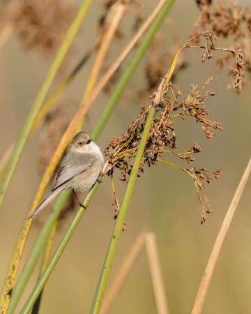 A tiny bird hanging on marsh grass. Bushtit at Oso Flaco Lake in Oceano, California