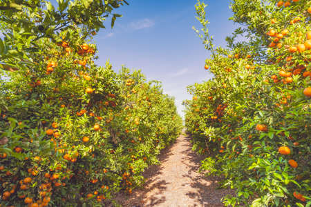 Mandarin plantation, trees with ripe fruits in a row, California harvest season.