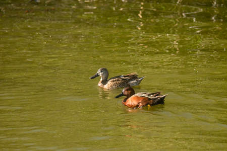 Cinnamon teal ducks on the lake. Oso Flaco Lake Natural Area, Oceano, California Zdjęcie Seryjne
