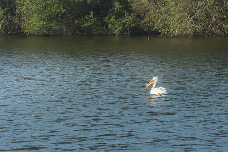 White pelican floating on water. Oso Flaco Lake Natural Area, California