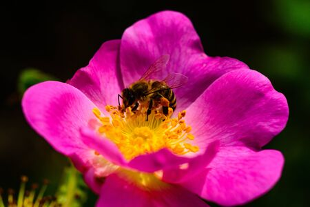 Beautiful flower with a bee. Collecting nectar for honey. Hardworking bee. Nature and animal, insect.