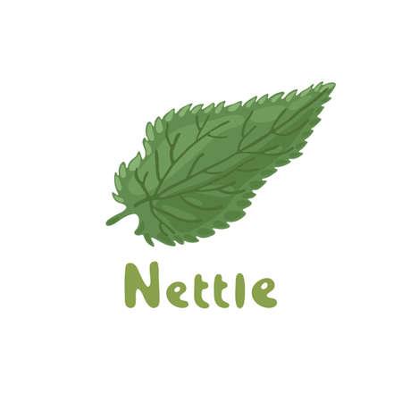 Nettle herb, medicinal plant. Green leaf of Nettle. Vector botanical illustration of nettle. Cosmetics and medical plant. Vector hand-drawn illustration. Botanical drawing. A stinging nettle leaf.