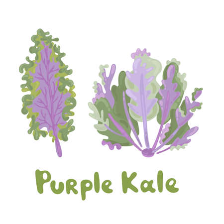 Purple kale cabbage icon on white background. Illustration with the vegetables for design food products. Purple kale for advertising farm products in a modern flat style. Lovely graphic design