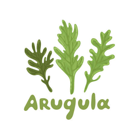 Ruccola leaves. Set of arugula (ruccola, rocket salad). Nature organic vegetable icon of arugula, spice ingredient. Healthy food, lifestyle concept. Vector culinary herb. Flat vector design.