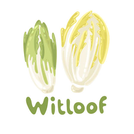 Healthy vegetable witloof chicory. Farm market product. Green salad leaves isolated on the white background. Vector illustration stock image, vegetable icon. Belgian endive piece