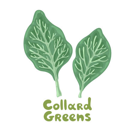Collard greens leaves on a white. Salad icon. Lifestyle concept, culinary herb. Flat vector design for menu, farm product promotion, healthy food, culinary. Salad for soup, meat and other dishes.