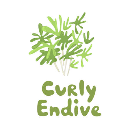 Cichorium endivia salad. Curly endive cute stock illustration. Agriculture, gastronomy, cooking concept, farm. Take part in a salad. Vitamins and minerals. Playful design style, salad ingredient Illustration
