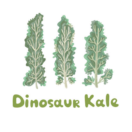 Dinosaur kale. Healthy vector colorful food vegetable spice ingredient. Kale on white background. Elegant kale leaves. A decorative organic raw vegetable curly leaves. Edible plant cute picture