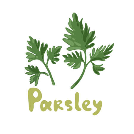 Parsley icon on white background. Sprig of parsley with bright green aromatic leaves. Natural ingredient for flavoring dishes. Vector illustration, flat vector icon. Nature organic vegetable parsley