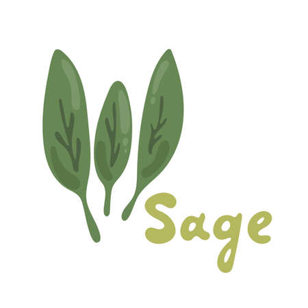 Sage herb, food vector illustration. Sage plant isolated on white background. Medicinal plant leaves. Salvia officinalis plant also called sage. Cartoon salad icon for menu design, cooking book Stock Illustratie