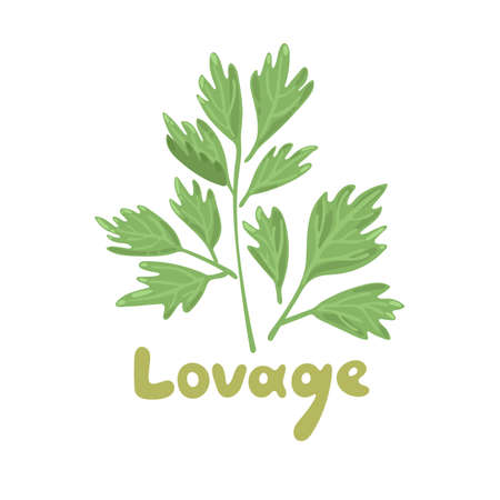 Lovage, levisticum officinale. Culinary and medicinal herb. Hand drawn botanical vector illustration. Playful design style, salad ingredient. Cute culinary herb icon. Isolated spice object. Stock Illustratie