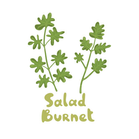Salad Burnet, Sanguisorba minor. Microgreens. Cooking salad ingredient. Ingredient for diet dishes. Vector illustration, flat vector icon. Nature organic vegetable. Culinary herbs cute clipart