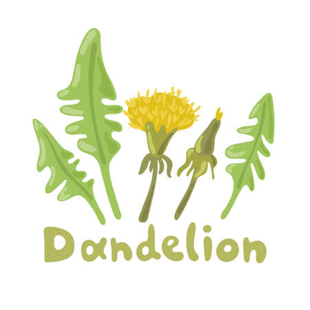 Dandelion plant with flowers, leaves and buds. Dandelion salad. Summer flower season yellow dandelion. Botanical illustration. Digital icon for web site page, mobile app, menu design, cooking book