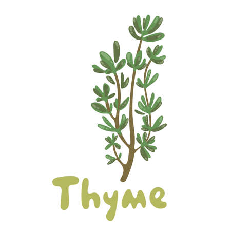 Thyme. A cute branch of thyme illustration. Herbs vector object isolated on white background. Kitchen herbs and spices icon. Fresh thyme sprigs, spice illustration. For menu, packaging and recipes