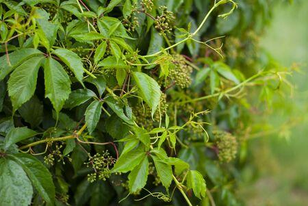 Virginia creeper Parthenocissus quinquefolia var. murorum in the summer garden