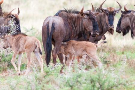 wildebeest: Blue Wildebeest  Stock Photo