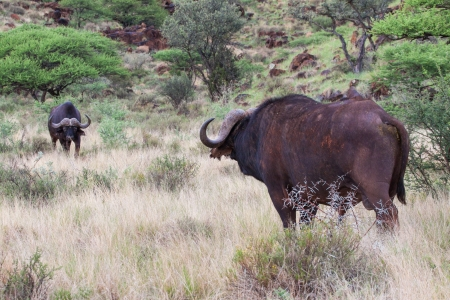 suid: Buffalo Stand-off